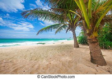 tropische , panoramisch, kokosnuss, sandstrand, handfläche