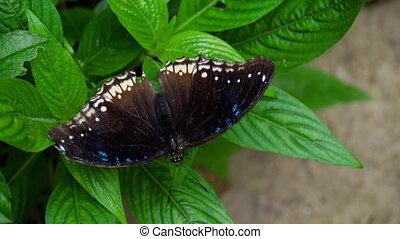 tropische , vlinder, hypolimnas, misippus