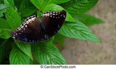 tropische , vlinder, misippus, hypolimnas