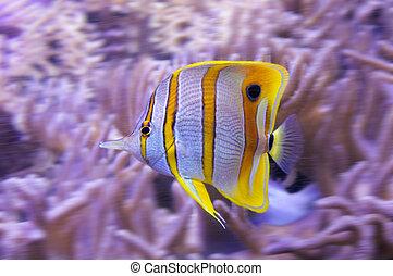 tropische , witte , strepen, gele, butterflyfish