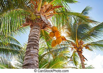 tropisk, kokosnød håndflade, træer, ind, karibisk