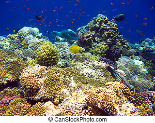 tropisk, korallrev, in, röd sjögång