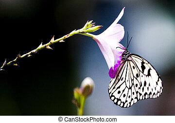tropisk, sommerfugl, rainforest