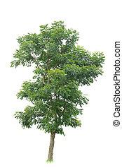 tropisk, vit fond, träd, isolerat
