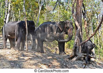 troupeau, éléphant, de, asie