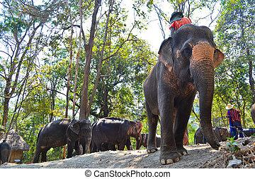 troupeau, asie,  Éléphant