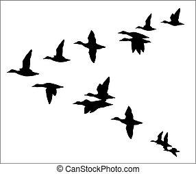 troupeau, canards