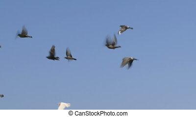 troupeau, colombes
