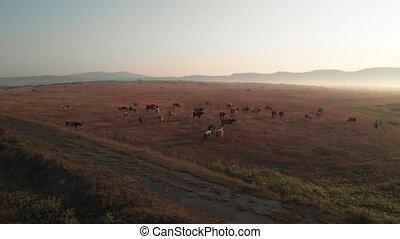 troupeau, cultures, sunset., vaches