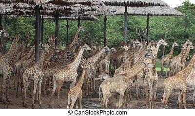 troupeau, de, girafes, dans, a, safari, park., bangkok,...