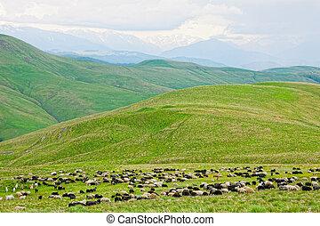 troupeau, de, mouton, est, frôlé, sur, a, pâturage, dans,...