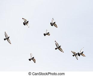 troupeau, de, pigeon voyageur, oiseau vole, mi air