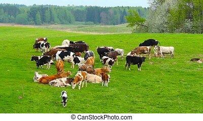 troupeau, de, vaches, dans, a, pré