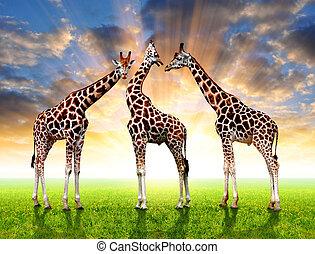 troupeau, girafes