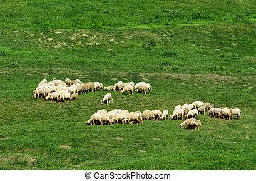 troupeau, mouton, pelouse