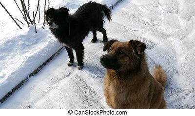 troupeau, nourriture, chiens, volontaire, attente, hiver, neige, affamé, rue