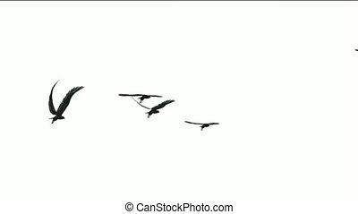 troupeau oiseaux, survoler,