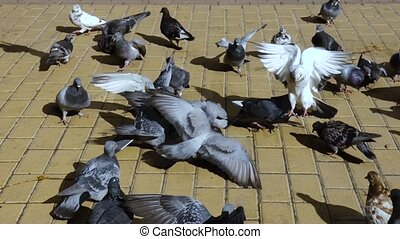 troupeau, pigeons