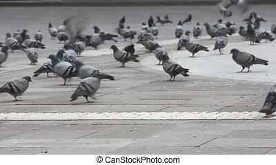 troupeau, rue, pigeons