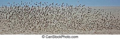 troupeau, shorebirds, vol