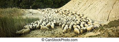 troupeau, sien, vieux, berger, photo