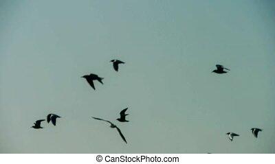troupeau, silhouette, oiseaux, flying.