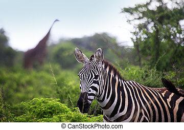 troupeau, zebra, savane