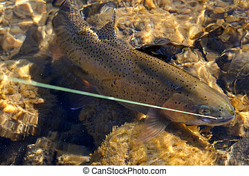 A hybrid rainbow/cutthroat trout as it is reeled in in the Snake River in Idaho