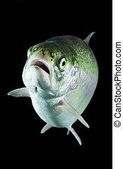 Trout Fish In Studio Aquarium
