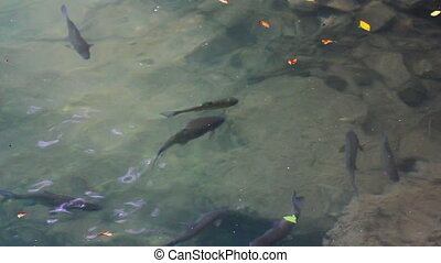 trout fish underwater in lake