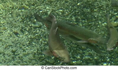 Trout Hatchery - Young trout in hatchery pool