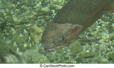 Trout in freshwater pool