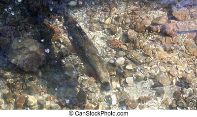 trout swim in mountain water stream