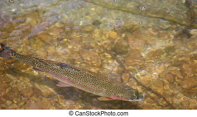 Trout swims in the river
