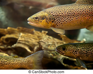 Trout underwater photograph - Fish eyes view of Trout...