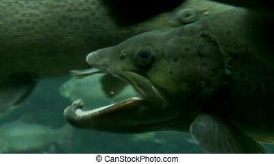 Trout underwater