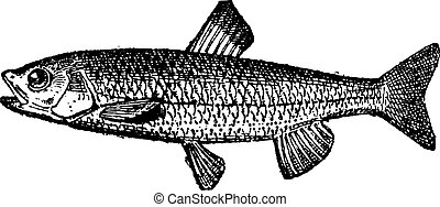 Trout, vintage engraved illustration. Dictionary of Words and Things - Larive and Fleury - 1895