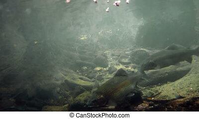Trouts Underwater  - Rainbow trouts underwater