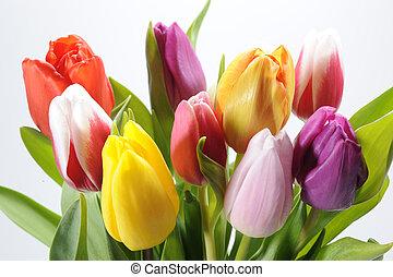trs k, tulipán