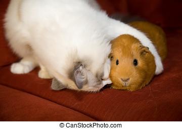 True love - Cat and guinea pig in an akward embrace
