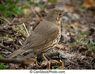 true thrush female bird close-up portrait in the forest. ...