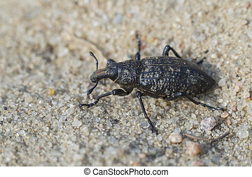 True weevil - Coniocleonus hollbergi