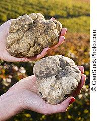 truffes, blanc, femme, piémont, mains