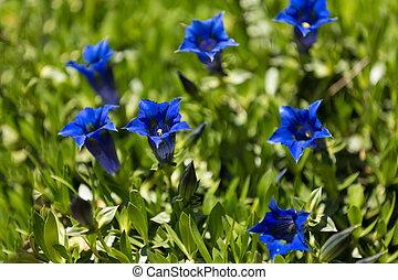 Trumpet gentiana blue spring flower in garden, with shallow focus, macro