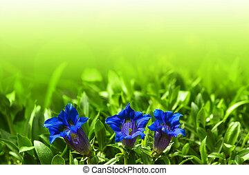Trumpet gentiana blue spring flower in garden for background