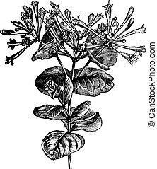Trumpet Honeysuckle or Lonicera sempervirens, vintage engraving. Old engraved illustration of a Trumpet Honeysuckle plant showing flowers.