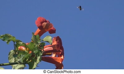 Trumpet Vine (Campsis radicans) flower and bee collection of...