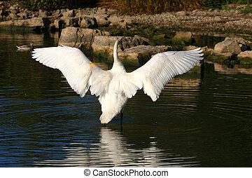 Trumpeter Swan Cygnus buccinator back view wings open