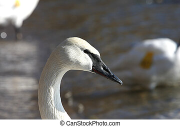 Trumpeter Swan Cygnus buccinator profile head in morning sun