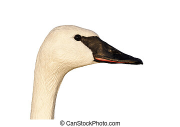 Trumpeter swan, Cygnus buccinator, single captive bird head shot, Gloucestershire, January 2012